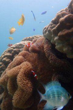 可愛いニモ 発見(((o(゚゚)o)))海の中をお散歩ゆっくり 流れるこの瞬間 非日常 南の島で遊ぶ際は 絶対 見たい光景ですベストショットが沢山撮れました()  #沖縄 #島 #海 #マリンスポーツ #ダイビング #シュノーケル  アースシップ沖縄 http://ift.tt/2u4tqBl tags[沖縄県]