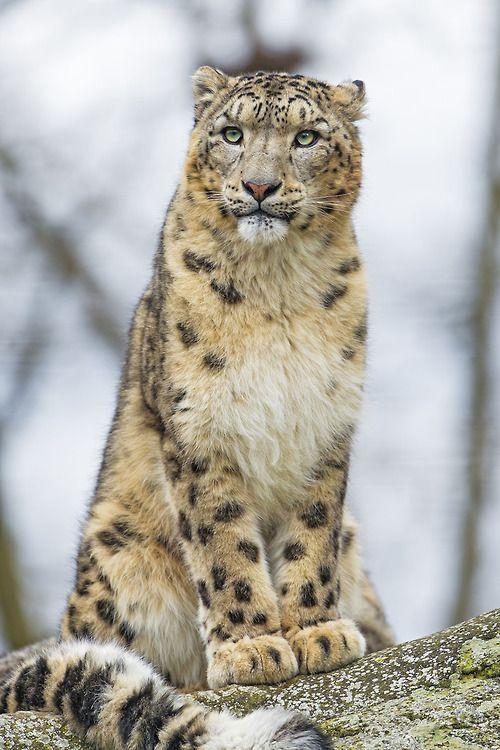 snow Leopard tail wrapped around feet