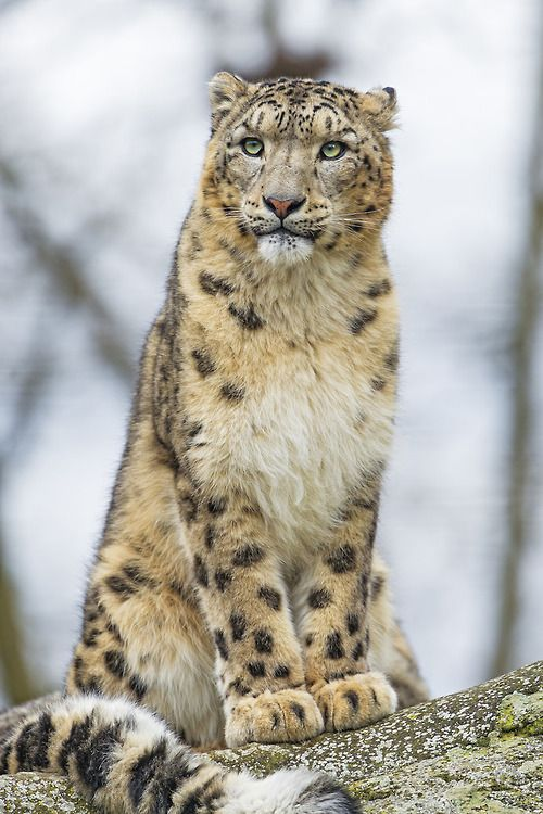 Snow Leopard -- Sitting and posing Pator (by Tambako the Jaguar)
