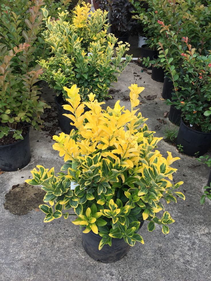 1000+ images about EasyGreen Euonymus on Pinterest