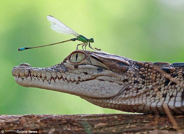 A brave insect ventured a bold walk through the teeth of a baby crocodile, a series of images captured by graphic designer and amateur photographer
