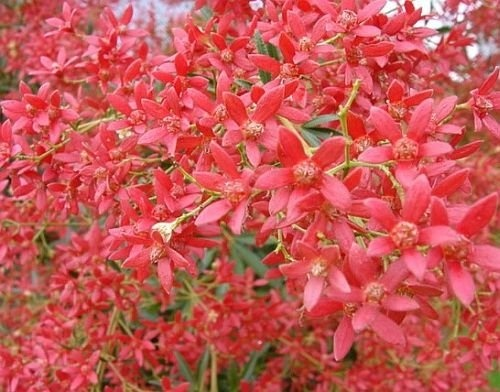 While people in the northern hemisphere are decorating fir trees and decking their halls with boughs of holly, here in Australia we have the bright and beautiful Christmas Bush, Ceratopetalum gummiferum.