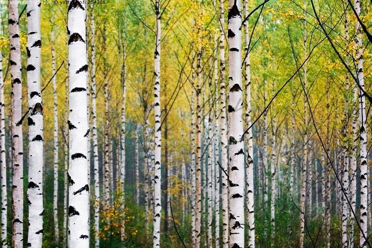 Koivikko - koivikko koivut puu metsä rungot aamu aamulla syksy syksyinen kellertää ruska  keltainen värikäs raikas raikkaus puhtaus luonto metsämaisema lokakuu suomalaisuus Suomi luonnonkaunis