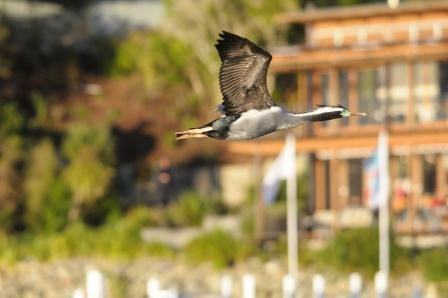 A photo of a Spotted shag flying past the resort.  Just meters from the resort these expert divers  have nested providing amazing photo opportunities for guests. Thanks goes to Simon Woolf for this awesome shot!