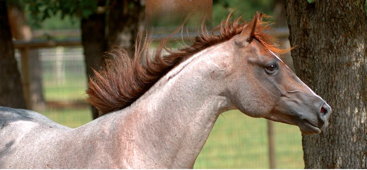 classic strawberry roan shades of roan pinterest