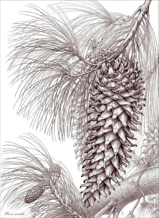 Pinus veitchii botanical illustration drawing by Gábor Emese Hungarian artist. www.gaboremese.hu