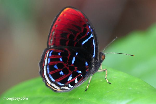 """Animal picture of the day: red, white, and blue butterfly"" -- ""Malay Red Harlequin (Paralaxita damajanti) in Indonesian Borneo."" Photo by Rhett A. Butler."