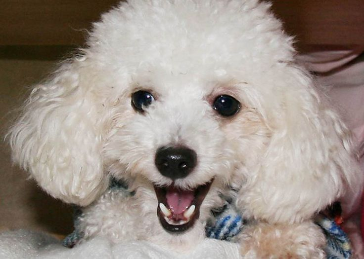 Why Poodles Are Smart Dogs