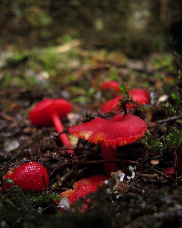 Some Fungi are just showing off. If you've got it, flaunt it. Shot at Corinna, takayna / Tarkine, Tasmania.   © Chris Wilson