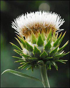 Cardoon..... pictures of biblical plants
