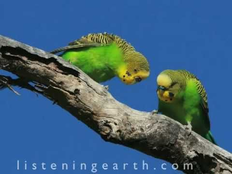 From the best selling album 'Happy Budgies' My budgies love this.