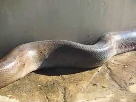 World's Largest Snake (turn up volume to hear the sounds it makes!) OMG!!!!