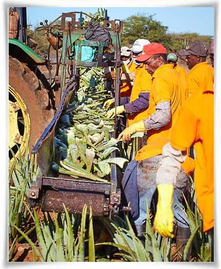 Gothering the Cut Leaves of Aloe barbadensis Miller Plants #StabilizedAloeVera #AloeVera #ForeverLivingProducts