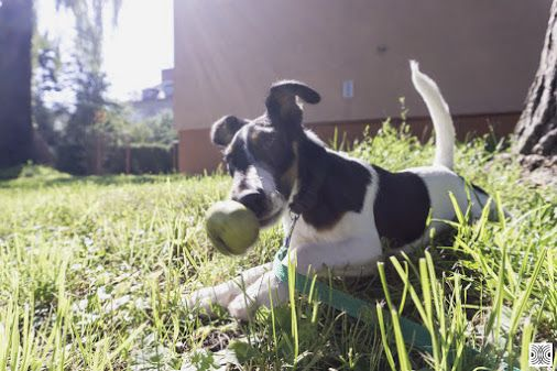 25.8.2016 - day 91 - unexpected move #2 :-)  Sony a6000, f/5.6  www.pavelvrzala.com  #SmoothFoxTerrier #puppy #little #dog #move #apple #grass #Sony #a6000