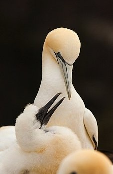Gannet mother and her growing chick in the Shetland Islands, Scotia.  Photo by © Andrew Parkinson, via corbis.com