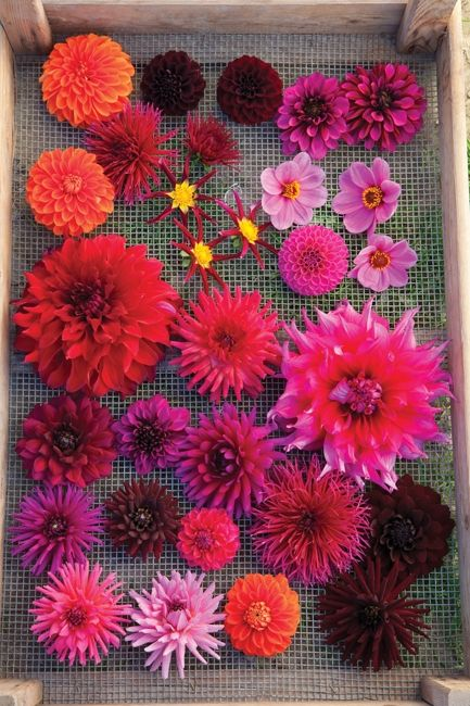 Dahlias are one of the lowest maintenance, highest production cut flowers and garden plants you can grow. In a good year, they'll flower from late June to early December.
