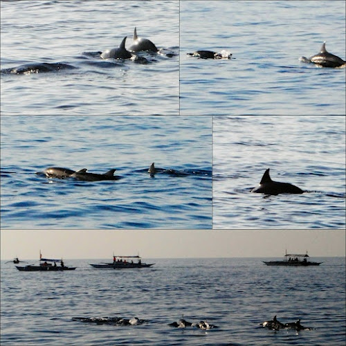 Dolphins in the wild...    UntiedEscape: Cebu – Bohol Series: 4.1 Dolphin Watching and Balicasag Island