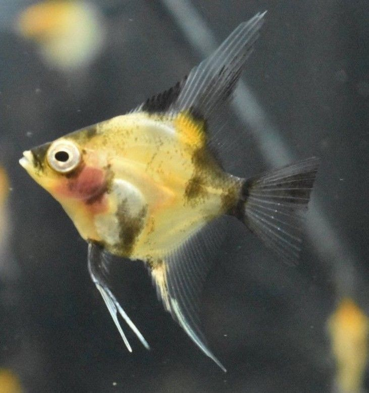 6 Blushing Koi Angelfish Nickel Size Angel Fish Aquarium Fish Fish Pet