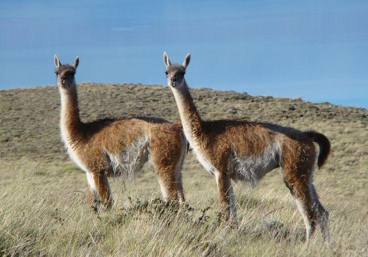 Guanaco (Lama guanicoe) é nativo das regiões áridas e montanhosas da América do Sul (Foto: Cláudio Timm/VC no TG)