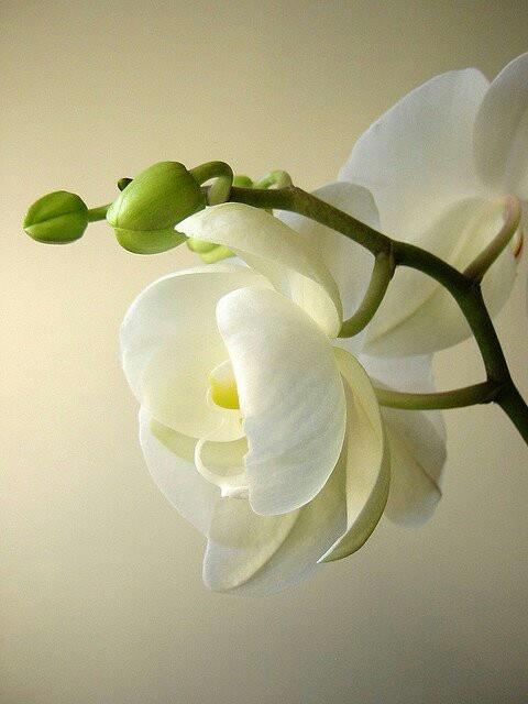 Mooie soorten Phalaenopsissen