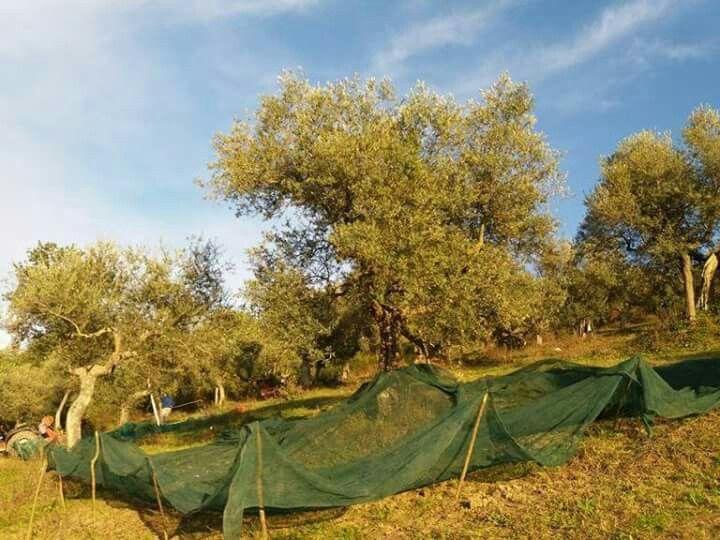 Talvolta, un albero umanizza un paesaggio meglio di quanto farebbe un uomo.(Gilbert Cesbron, Diario senza data, 1963)  Uliveto in alta Irpina. Fotografia della Scuola Ambulante di Agricoltura Sostenibile