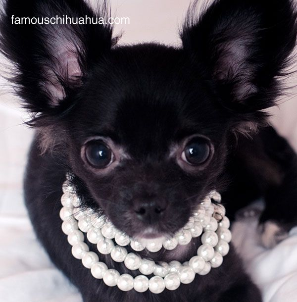 I swear I don't have the time,energy, or desire to dress my pets up for any reason, but once I pinned Dude's bow tie, I thought how very fetching Cracker would look in a classic Wilma-Flinstone-esque string of white pearls. And I can also make these way cheaper myself! :) This image from famouschihuahua.com