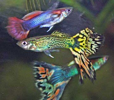 Tandkarpers Dit zijn zeer geliefde aquarium vissen, ze komen voor in zoet en zout water, en op bijna elke continent. Ze zijn er in verschillende kleuren en de meeste zijn vrij makkelijk te kweken....