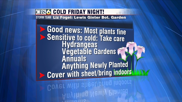 Horticulturist Liz Fogel says that most of your plants tonight will be fine. However, sensitive plants (those not well-adjusted to cold temperatures in the 30s) will need a little TLC. Some of those plants include hydrangeas, vegetable gardens, annuals, and anything newly planted (both in-ground and in-pots). New plants are especially sensitive because they've never been exposed to these temperatures and simply aren't hardy enough yet.: Includ Hydrangeas, Liz Fogel, Horticulturist Liz, Plants Tonight, Sensitive Plants, Vegetables Garden, Plants Include, Newly Plants