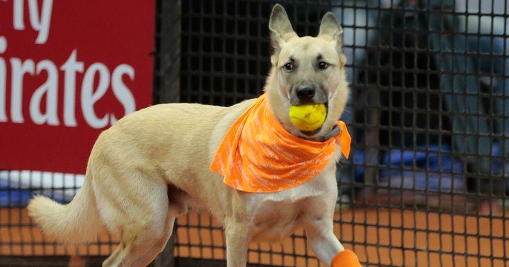 Shelter Dogs Serve As 'Ball Boys' At Brazil Tennis Open | Bored Panda