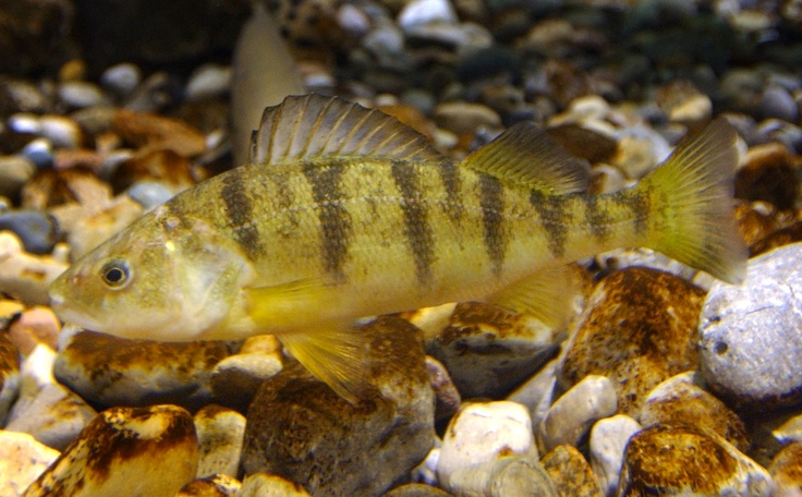 16 best images about fish perch on pinterest image for Yellow perch fishing secrets