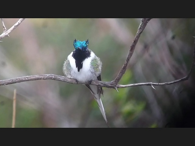 Horned Sumgem - Heliactin bilophus - chifre-de-ouro, via Flickr. (What a ridiculously adorable hummingbird!): Hummingbirds Neotrop, Hummingbirds Neo Trop, Adorable Hummingbirds, Amazing Hummingbirds, Heliactin Bilophus, Chifr De Ouro, Photo, Horns Sumgem, The Roller Coasters