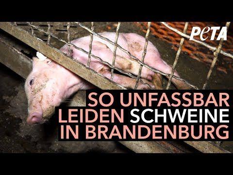 Das Leiden der Schweine in Günthersdorf – Missstände trotz Strafanzeige nicht abgestellt - YouTube