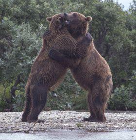 Alaskan Bear Hug - stock photo