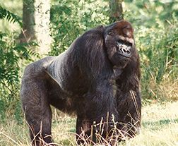Ivan the gorilla - The book The One and Only Ivan is based on this gorilla.