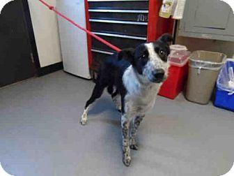 Salinas, CA - Border Collie. Meet CARA, a dog for adoption. http://www.adoptapet.com/pet/17999799-salinas-california-border-collie
