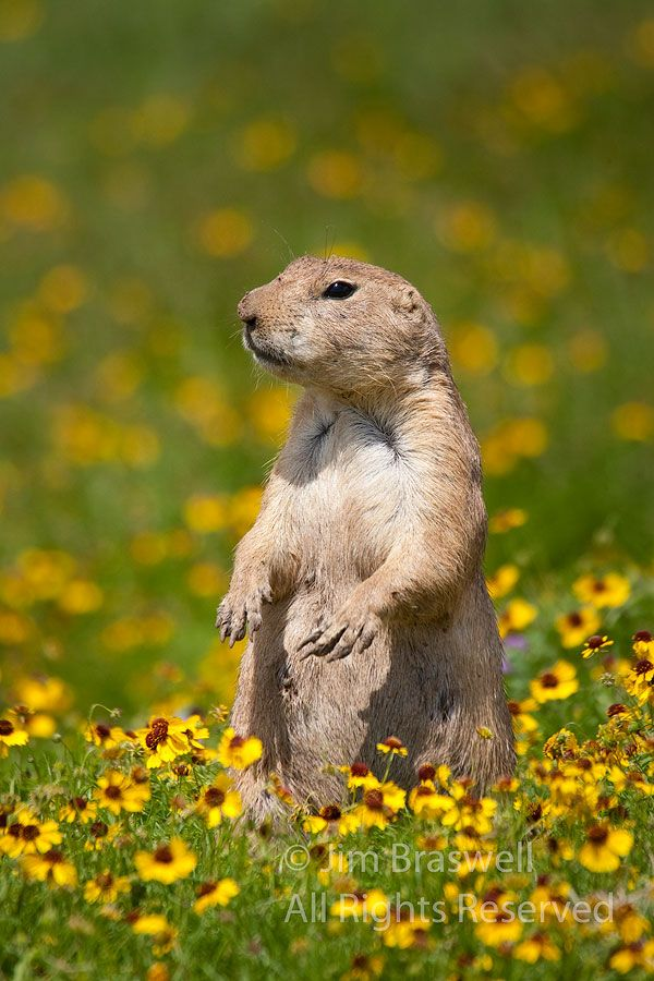 Black Tailed Prairie Dog As Pets