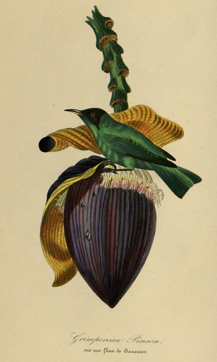 Banana, Musa paradisiaca, illustration by Jean Theodore Descourtilz, from Le Jardin des Plantes by Pierre Bernard and Louis Couailhac, 1842 OJO