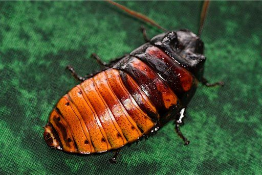 Madagascar Hissing Cockroaches, Roaches for sale, Hisser, Hissing Roach, Giant Hissing roach, Breeding, diseases, Sexing, Sell, Buy hissers online, big roach, madigascar, Madagascar Hissing Cockroach