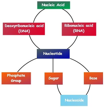 Nucleic Acid Types