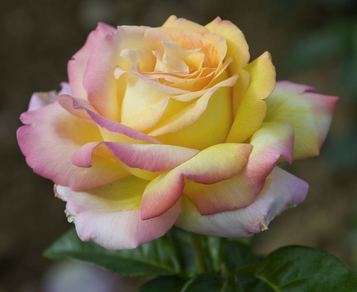 13 best rose mme a meilland peace images on pinterest for Rose meilland