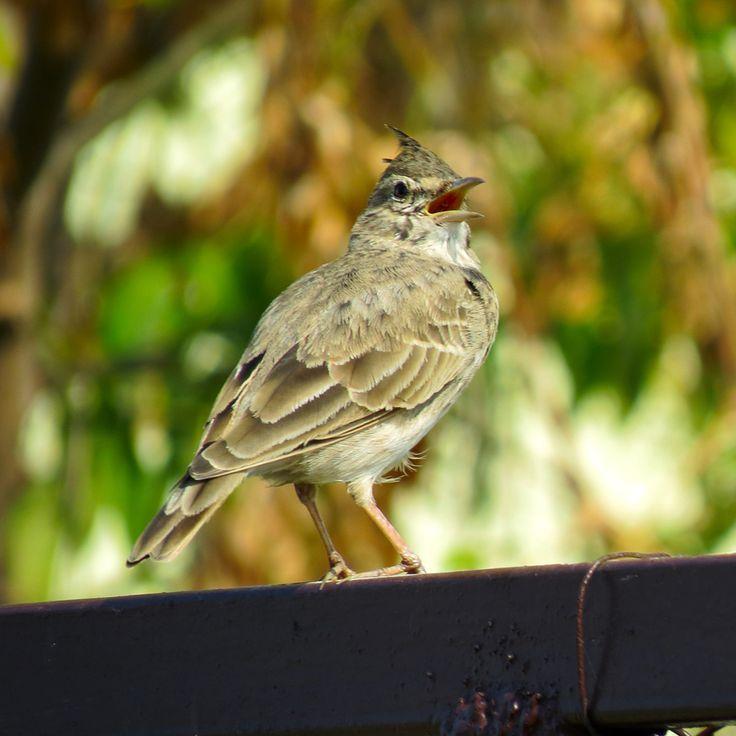 Nowy szkodnik Obserwujemy coraz mniej dzierlatek w wielu miastach, gdzie do niedawna gniazdowały. Obok srok i kotów w ostatnich latach pojawił się nowy eksterminator tych sympatycznych ptaków.