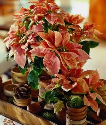 """Siedmiu wybitnych florystów z Wielkiej Brytanii, przygotowało aranżacje bożonarodzeniowe stołu. Wykorzystali poinsecję zwaną w wielu krajach """"gwiazdą betlejemską"""" do zaaranżowania dekoracji stołu w różnych stylach. http://www.sztuka-krajobrazu.pl/36/slajdy/swiateczne-kompozycje-stolu-z-londynu"""