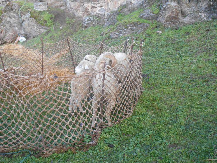 Escenario Belen Viviente 2015. Grupo de ovinos