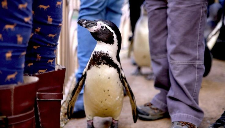 Great shot of one of the penguins from Longleat Safari and Adventure Parks Penguin Island!