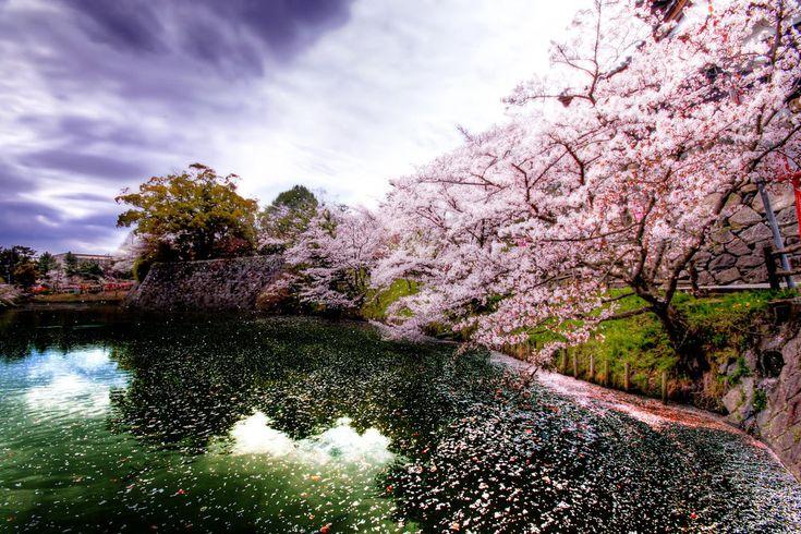 En primavera florece la flor de cerezo en Japón y durante esta estación los familiares y amigos se reúnen en parques bajo la sombra de los mismos para compartir alimentos y celebrar la aparición de las flores.