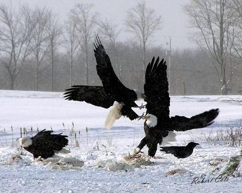 The Sheffield Mills Eagle Watch, a great winter activity in Nova Scotia. www.richardpayne.ca