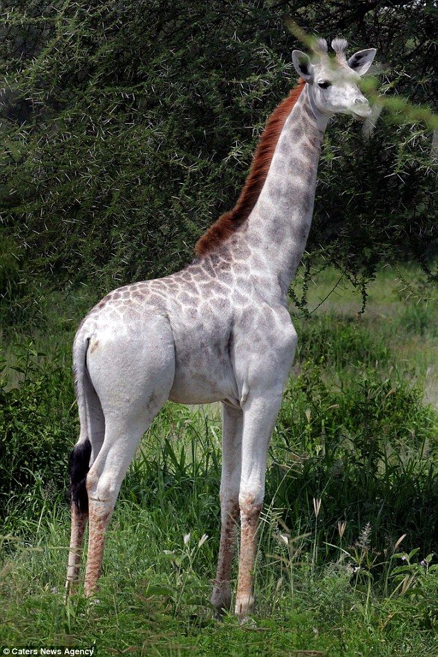 An extremely rare white giraffe calf recently spotted in Tanzania http://ift.tt/1TlFp5o