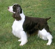 Farm Dog Breed - The English Springer Spaniel is an intelligent and highly energetic dog breed that enjoys hunting on land as well as traipsing through water and brush.