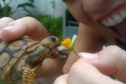 Baby turtle biting a flower, how much cuter can you get???Boxes Turtles, So Cute, Life Lessons, Pets, Tortoies, Funny Animal, Flower, Baby Turtles, Hermit Crabs
