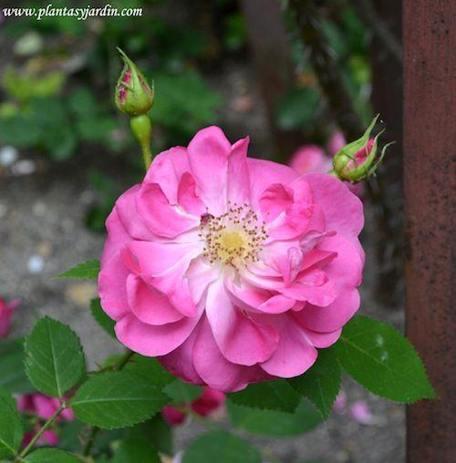 Rosas-Rosales (parte II) Clasificación & Formas de las flores